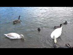Swans ducks geese Saltwell Park