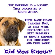 "​​The Boerboel (meaning ""farmer's dog"") is a large mastiff that was developed by working farmers in remote areas of South Africa. Mastiff Breeds, Mastiff Dogs, Giant Dog Breeds, Giant Dogs, British Mastiff, English Mastiff Puppies, Fierce Animals, War Dogs, Dog Show"