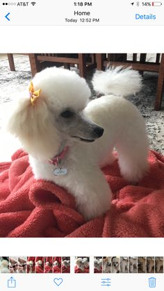 "Exceptional ""Poodle pups"" info is readily available on our web pages. Take a look and you wont be sorry you did. Mini Poodles, Standard Poodles, Poodle Cuts, French Dogs, Tea Cup Poodle, Bichon Frise, Pet Grooming, Dog Mom, Puppy Love"