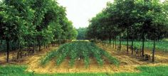 Alley cropping corn walnuts - Agroforestry - Wikipedia