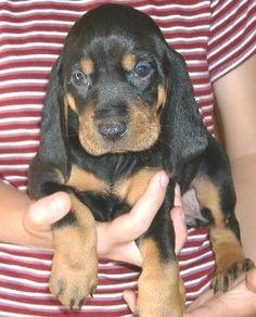 Black and tan coonhound puppy!