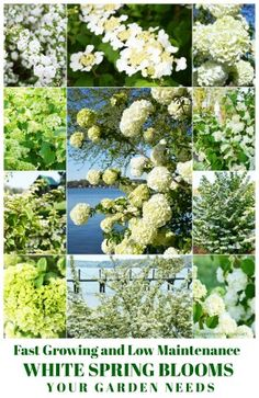 Fast Growing and Low Maintenance White Spring Blooms Your Garden Needs Spring Blooms, Spring Flowers, Low Maintenance Shrubs, Vintage Tea Parties, Vintage Party, White Springs, Spring Weather, Flowering Vines, Flower Market