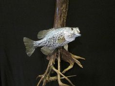 Crappie with open mouth on driftwood