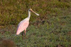 Foto colhereiro (Platalea ajaja) por Ivan Angelo   Wiki Aves - A Enciclopédia das Aves do Brasil
