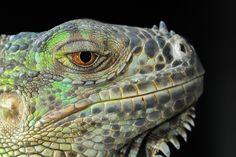 Free photo Dragon Animal Portrait Gad Iguana Eye The Lizard - Max Pixel Professor, Free Photos, Free Images, Dragon Mythology, Dragon Images, Fantasy Monster, Reptiles And Amphibians, Cute Funny Animals, Dog Gifts