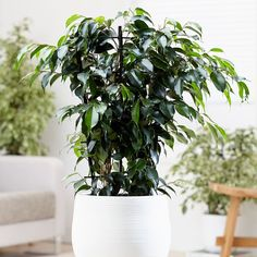 Buy weeping fig Ficus benjamina 'Danielle (PBR)' - Popular graceful plant to compliment any home: Delivery by Waitrose Garden Palm Plant, Fern Plant, Ficus, Best Air Purifying Plants, Common House Plants, Natural Air Purifier, Best Indoor Plants, Jade Plants, Plant Needs