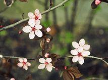 SpringCherryBlossom7
