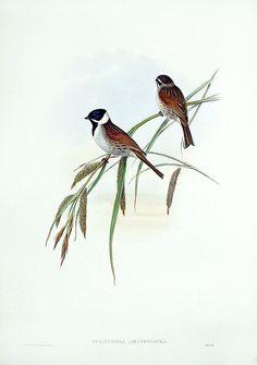 John Gould Birds of Great Britain 1862