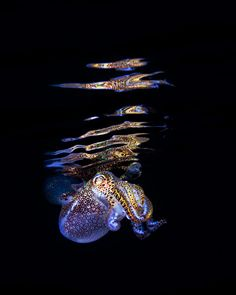 Last year underwater photographer Todd Bretl took some delightful photos of bobtail squid showing off their bioluminescent abilities off the coast of the Philippines. ' via thinx, My Modern M…