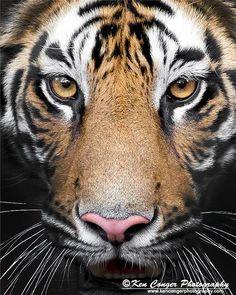 Cat 2, Bengal Tiger, Big Cats, Animal Kingdom, Wildlife, Nature, Memes, Tigers, Naturaleza