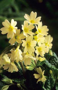 Primula vulgaris 'McWatt's Cream' Fotografia de John Glover, uno de los primeros y de los mas importantes fotografos de jardin del Reino Unido
