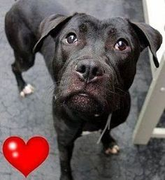 Pictures of Criss a Pit Bull Terrier for adoption in New York NY who needs a loving home.