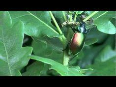 Conhecer os Insectos Auxiliares :
