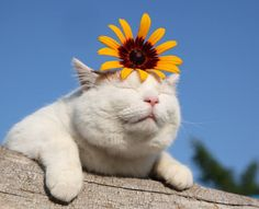 "Celebrate Summer Solstice with sunflowers! Shironeko With Flowers In His Hair ""Because Frida Kahlo, that's why. Cute Funny Animals, Funny Cats, Cute Dogs, I Love Cats, Cool Cats, Kittens Cutest, Cats And Kittens, Costume Chat, Tattoo L"
