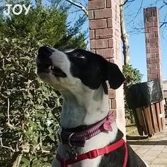 I'm going to eat you little squirrel !!! LOL 🐾🐾🐶 Follow JOY at her Facebook page for many more photos and videos:  https://www.facebook.com/JOYMixedBreedGirl/ 🐾 #dog #instagramdogs #ilovemydog #instapuppy #dogfamily #doggie #ilovemypet #dogofinstagram #happydog #dogface #dogsofig #dogselfie #doglovers #dogsofinstaworld #petstagram #doglover  #petlover #instadog #dailypawwoof #happydog_feature #dogsubmit