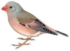 Trumpeter Finch (Bucanetes githagineus)