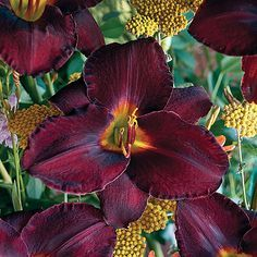 """fantastic variety. 28"""" tall. One of our most popular perennial flowers ..."""