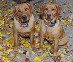 """Fox Red"" Kings River Labradors"