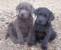 99 Best Silver Labrador Puppies images in 2019 | Beautiful