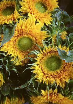 "bobbauerflower: "" ' Spiky Sunflowers ' Floral art photograph of sunflowers shot at an outdoor farmer's market by Bob Bauer. http://bobbauerflower.tumblr.com/ """