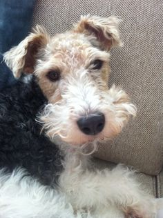 Riley-the wire fox terrier! Hard to believe I'm a rescued dog - I'm as sweet as I am cute.