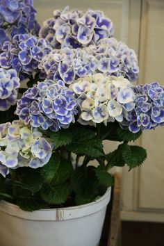 When we lived in my in-laws house, they had hydrangeas like this. It was the only time I've ever seen that variety.
