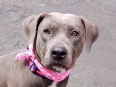 TO BE DESTROYED - 03/27/15 Manhattan Center   y name is DEVO. My Animal ID # is A1030877. I am a female gr brindle and white staffordshire mix. The shelter thinks I am about 1 YEAR   I came in the shelter as a STRAY on 03/20/2015 from NY 11691, owner surrender reason stated was STRAY. https://www.facebook.com/photo.php?fbid=982806971732182