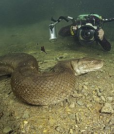 According to the Daily Mail U.K., diver and snake fanatic Franco Banfi took a dip with a 26-foot anaconda who was on the prowl for food in Mato Grosso, Brazil. #snakes
