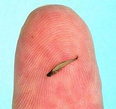 The Paedocypris progenetica is officially the world's smallest fish at only 7.9mm long, that is less than 1/3 of an inch! Not only is in the smallest fish in the world, but it is also that smallest vertebrate or backboned animal in the entire world! It was discovered in the swamps on the Indonesian island of Sumatra in water that has a PH level of 3. This is about 100 times more acidic than regular rainwater!