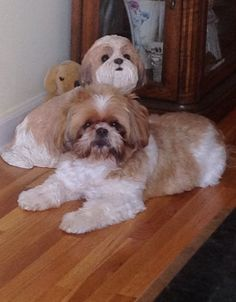 Our Molly..shihtzu   Which one of us is real?
