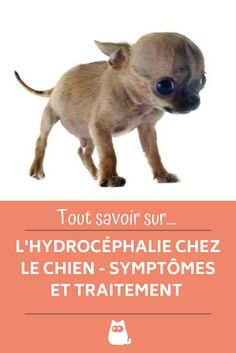 Le Chihuahua, Funny Relatable Memes, Board, Movie Posters, Movies, Animals, Breeds Of Small Dogs, Cute Puppies, Dogs And Puppies