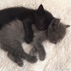 From @veggiedayz: The snuggle is real. #catsofinstagram [source: http://ift.tt/1PMgfci ]