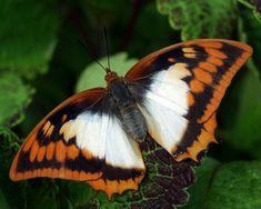 Flame Bordered Charaxes (Charaxes Protoclea) (aka Flame-bordered Emperor family Nymphalidae)