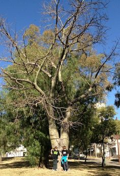 palo borracho relation to baobab tree Bolivia, Baobab Tree, Fauna, South America, Conservation, Brazil, Spanish, Bottle, Friends