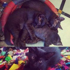 Four beautiful black kittens need loving homes in #Delhi. These kittens are 2.5 months old their dad was a colourpoint American shorthair so they are likely to grow up a little fuzzier and rounder than the average Indian cat.They know how to use their litter box and are fully weaned. They have been indoor kittens fully socialised around humans so will be playful and curious in their new homes.To adopt please contact Deepa at 919868859812. #adoptdontshop #kittens #catlover…