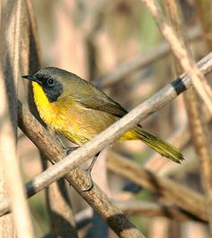 Black Polled Yellowthroat Geothlypis Speciosa Parulidae Family Endemic To Mexico Its Natural Habitats Are Freshwater Lakes And Marshes
