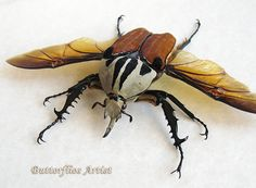 Mecynorrhina Oberthuri Unicolor Real Beetle From Tanzania In Shadowbox by ButterfliesArtist on Etsy Insects Names, Cool Bugs, Museum Displays, Butterfly Frame, Insect Art, Old World Style, Picture Hangers, Clear Silicone, Colorful Pictures