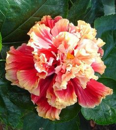 Standing Ovation- hibiscus double red with yellow edges. From Fancy Hibiscus in Florida Hibiscus Plant, Hibiscus Flowers, Cactus Flower, Flower Seeds, Tropical Flowers, Lilies Flowers, Rare Flowers, Exotic Flowers, Beautiful Flowers