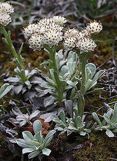 Antennaria parvifolia - Colorado Wildflowers