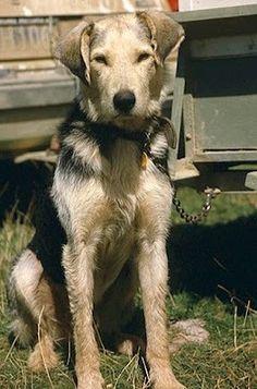 New Zealand Huntaway   Woolshed 1: New Zealand farm working dogs. The NZ Huntaway