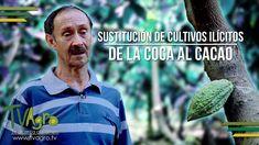 Sustitución de Cultivos Ilícitos: ¡El Cacao es Mejor! - TvAgro por Juan ...