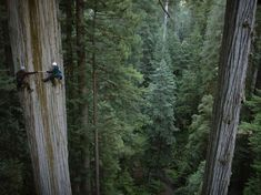 left, and Marie Antoinette take a core sample of a giant redwood tree in California.Image: Giant redwood tree in California (© Michael Nichols/Getty Images/National Geographic Creative) Wyoming, National Geographic, Chutes Victoria, Sequoia Sempervirens, Redwood Forest, Living On The Edge, Big Photo, Tree Photography, Inspiring Photography