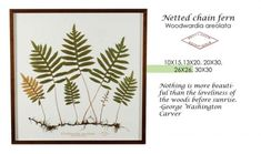 Becky Davis Botanicals: Netted chain fern.  I like the roots attached.