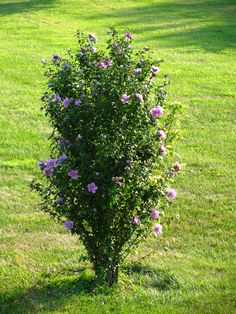 Reminds me of the bush my Dad had in his front yard. ROSE of SHARON Lavender/purple Bush Seeds Garden Front Of House, Lawn And Garden, Garden Shrubs, Garden Plants, Rose Of Sharon Tree, Flowering Bushes, Inside Plants, Front Yard Landscaping, Landscaping Ideas