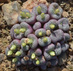 Conophytum obcordellum subsp. obcordellum var. obcordellum CR 1173