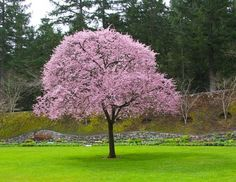 The Chickasaw Plum tree can grow in hardiness zones and in sunlight levels from full to partial. The edible fruit which this tree produces can be yellow to red. Fruit Trees, Trees To Plant, Back Gardens, Outdoor Gardens, Knockout Rose Tree, Flowering Plum Tree, Shrubs For Sale, Specimen Trees, Rose Trees