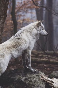 As a Celtic symbol, the Wolf was a source of lunar power. Celtic Lore states that the Wolf would hunt down the Sun and devour it at dusk, to allow the power of the Moon to come forth. Wolf Spirit, Spirit Animal, Cute Baby Animals, Animals And Pets, Wild Animals, Forest Animals, Beautiful Creatures, Animals Beautiful, Tier Wolf