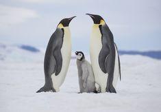 Emperor Penguin, Antarctica, Penguins, Snow, Penguin, Eyes, Let It Snow