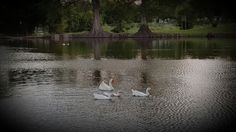 Ducks @ Woodlawn Lake casting pond