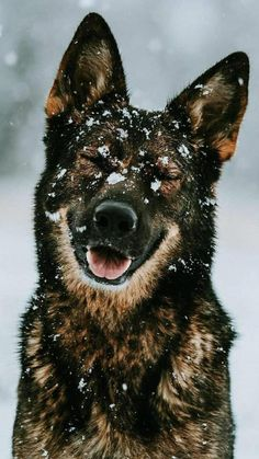 Cute Kawaii Animals, Cute Funny Animals, Funny Pets, Cute Puppies, Cute Dogs, Dogs And Puppies, Beautiful Dogs, Animals Beautiful, German Shepherd Puppies